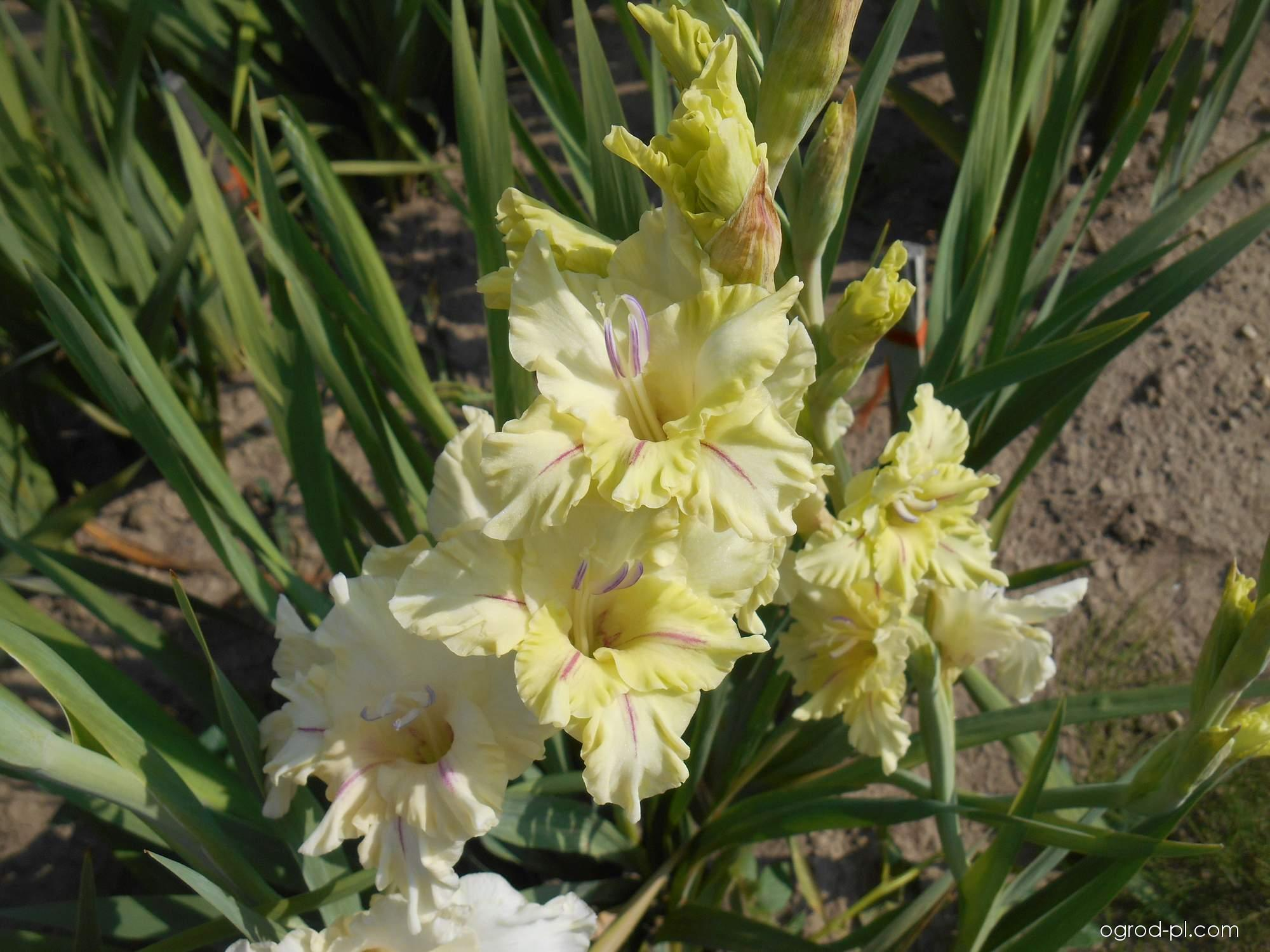Mieczyk - Gladiolus Cecilka