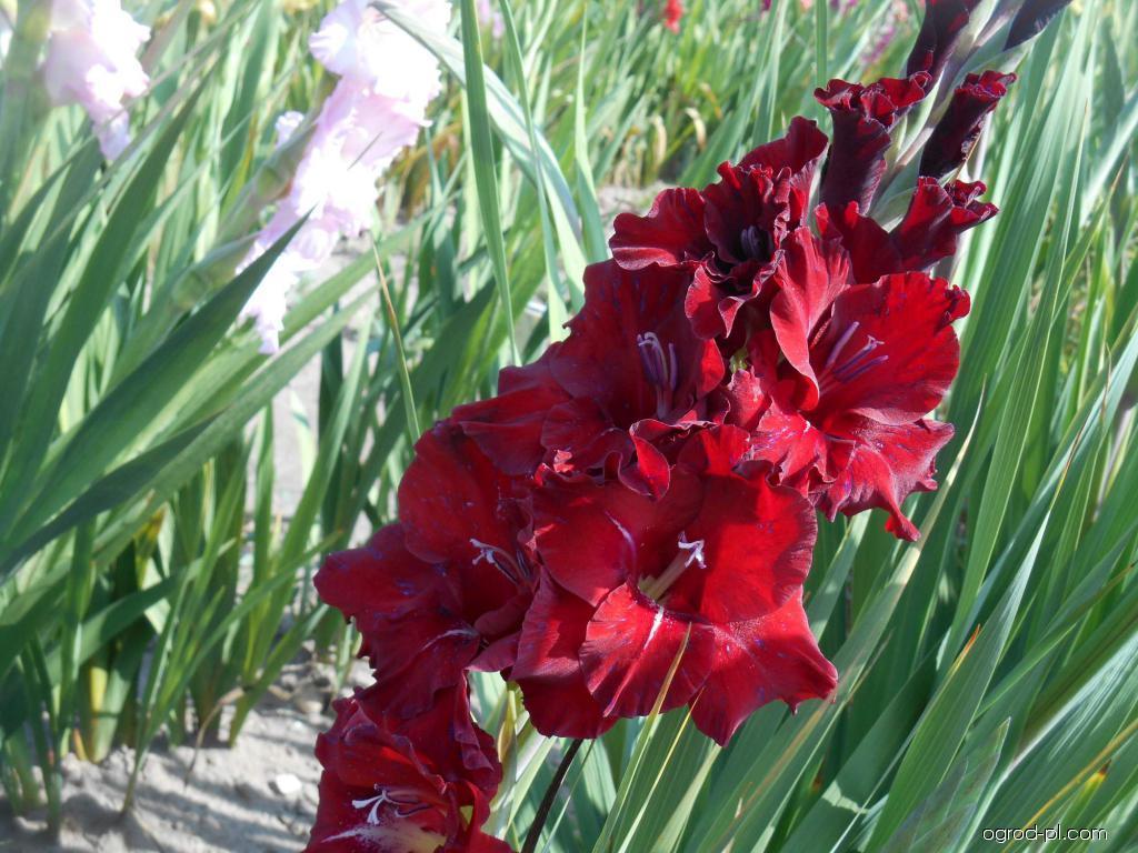 Mieczyk - Gladiolus Centaur