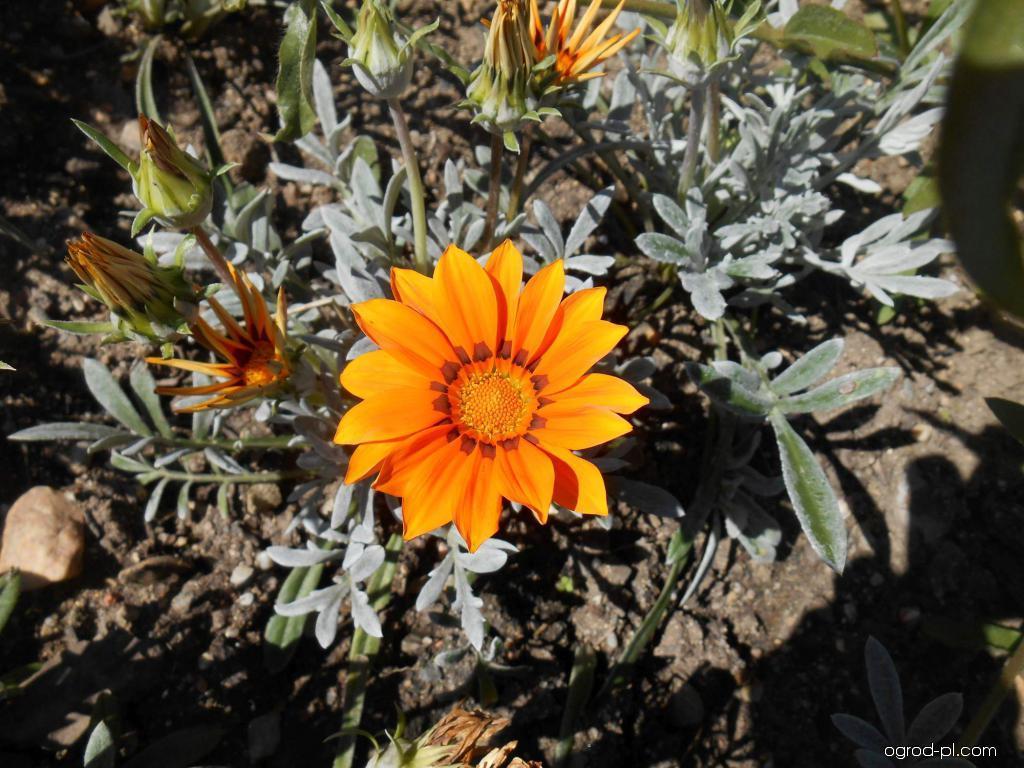 Gazania lśniąca - Gazania rigens Kiss Orange