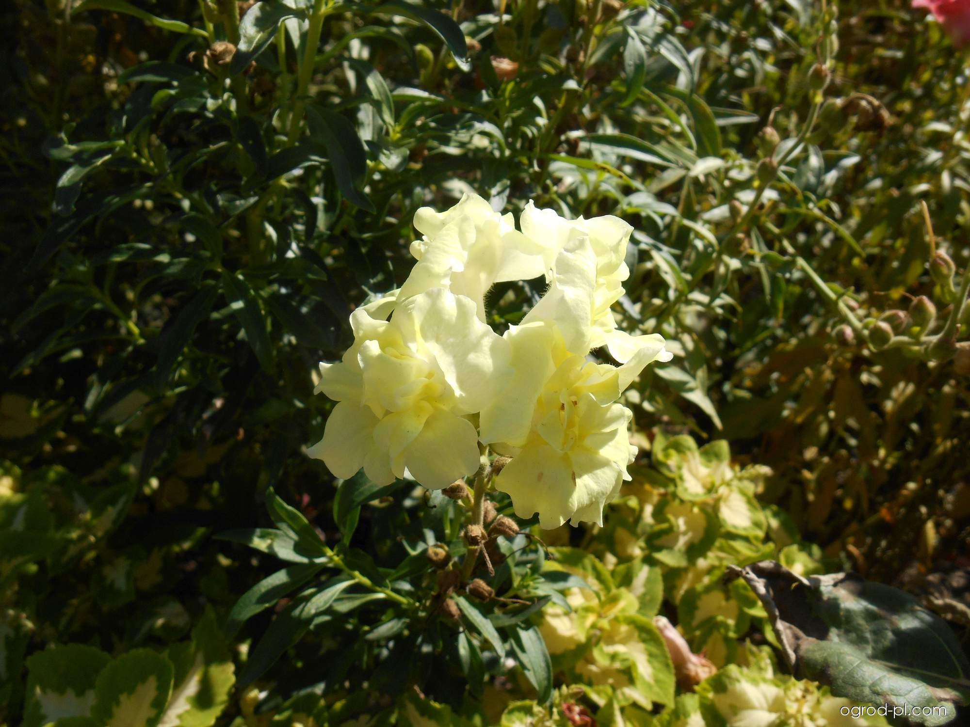 Hledík větší Madame Butterfly (Antirrhinum majus)