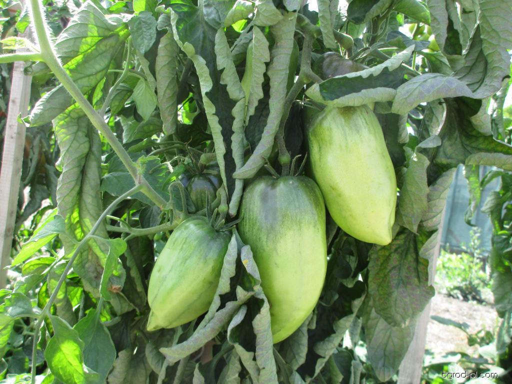 Rajče jedlé (Solanum lycopersicum)