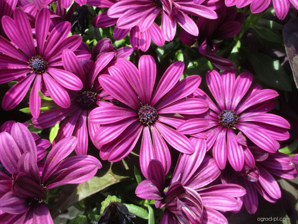 Paprskovka Side Show Purple (Osteospermum ecklonis)