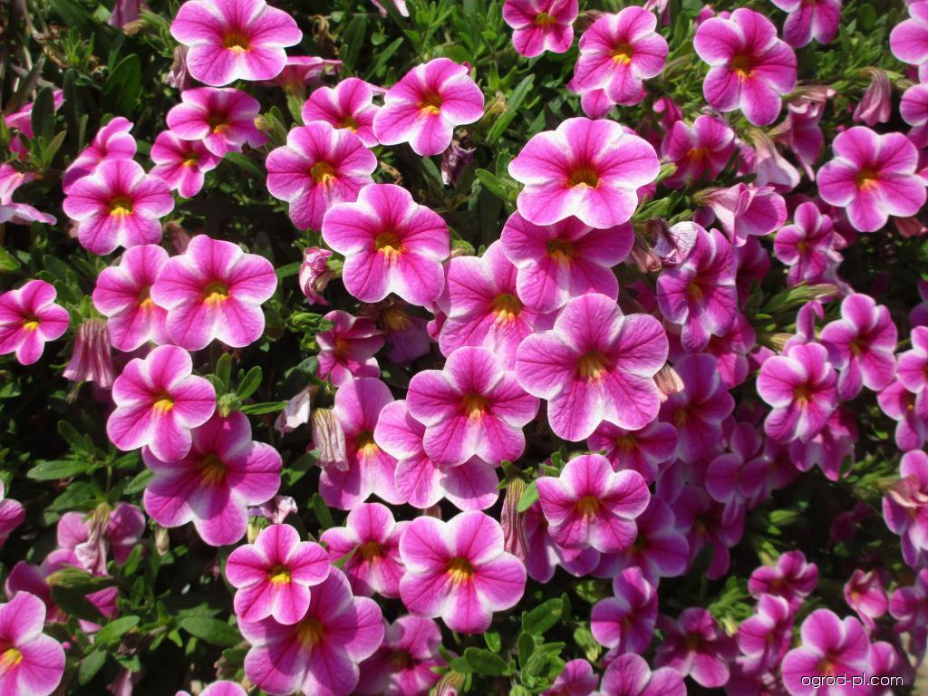 Kalibrachoa - Calibrachoa Callie Star Pink