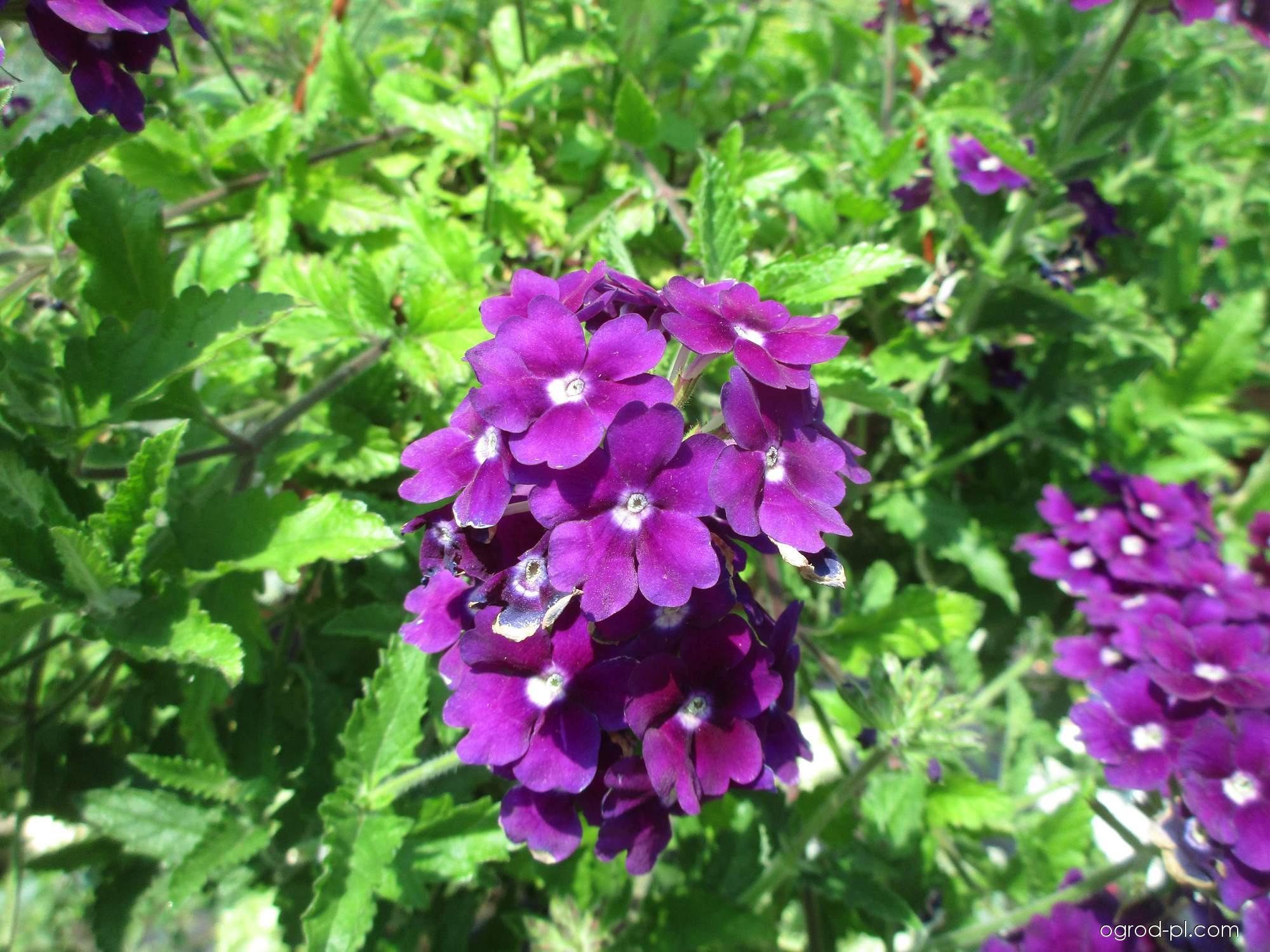 Sporýš zahradní (Verbena x hybrida)