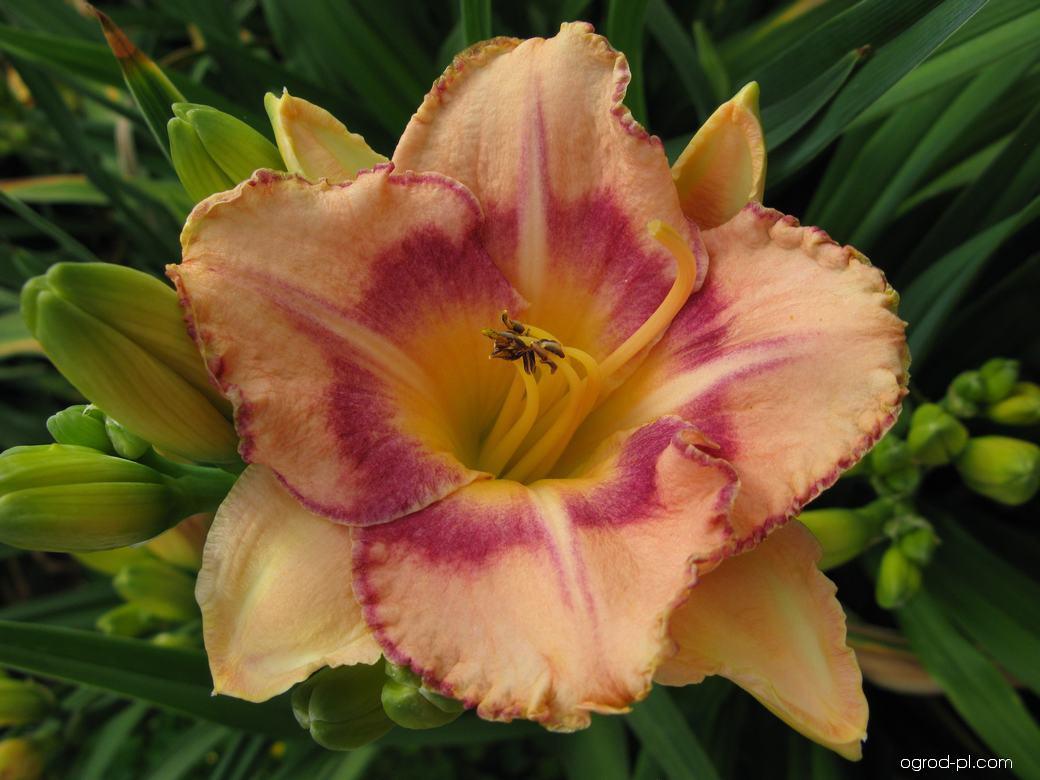 Liliowiec ogrodowy - Hemerocallis New Quest