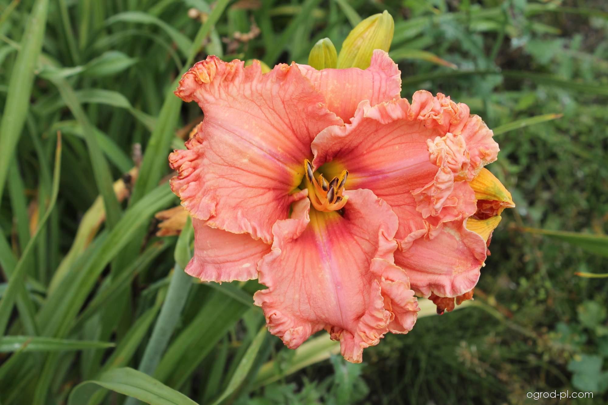 Liliowiec ogrodowy - Hemerocallis Reines Delight