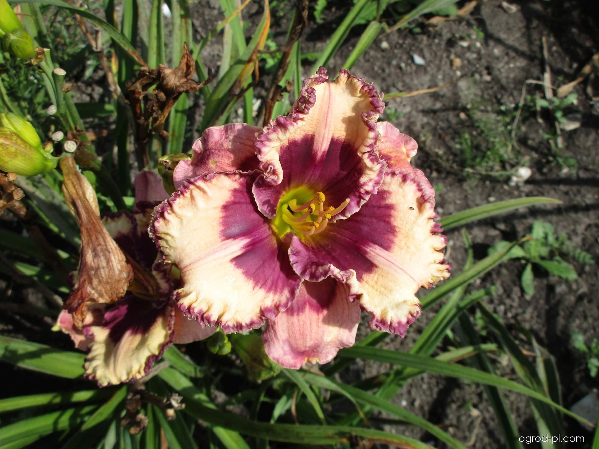 Liliowiec ogrodowy - Hemerocallis Regal Amethyst