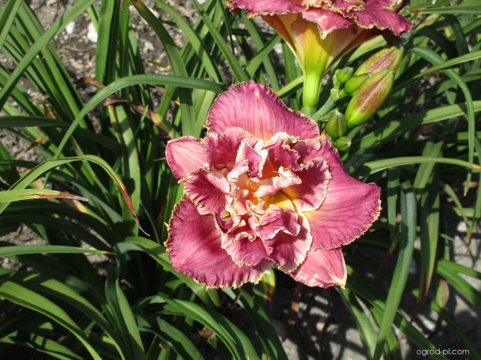 Liliowiec ogrodowy - Hemerocallis Emerie Baker