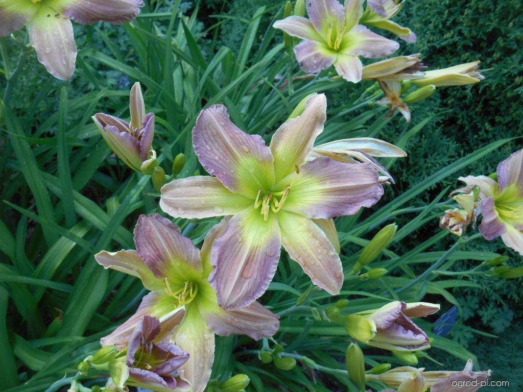 Liliowiec ogrodowy - Hemerocallis Prague Spring