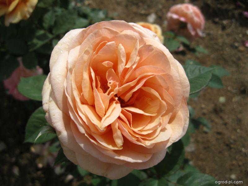 Róża - Rosa Charles Austin