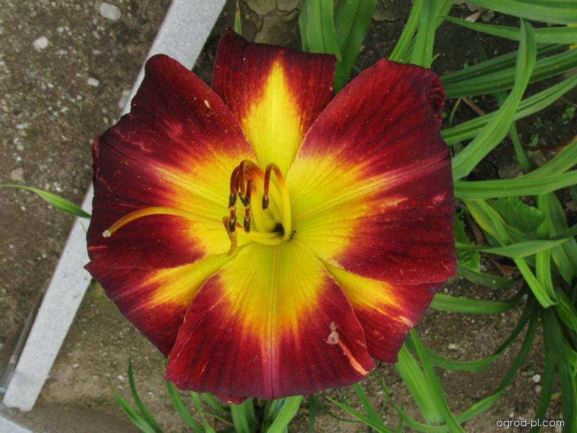 Liliowiec ogrodowy - Hemerocallis Persian Ruby