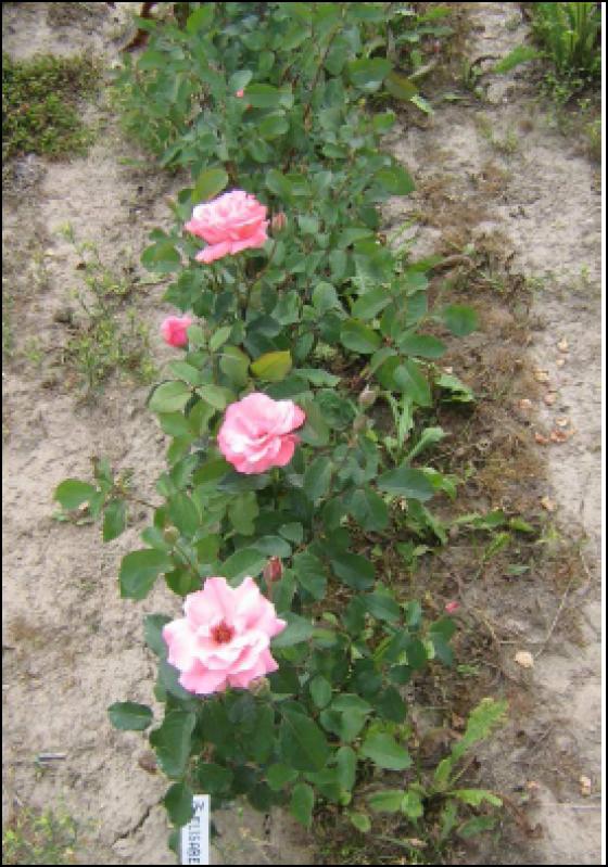 Růže - Elisabeth Rose (Rosa)