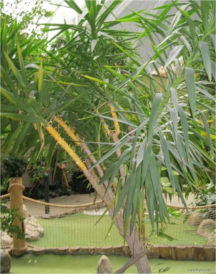 Juka (Yucca elephantipes)