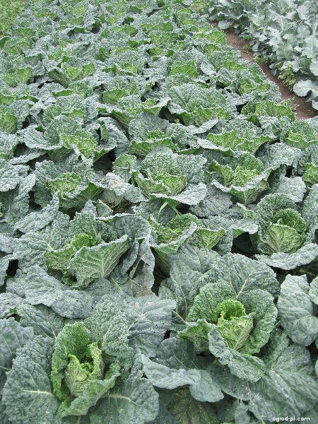 Hlávková kapusta (Brassica oleracea var sabauda)