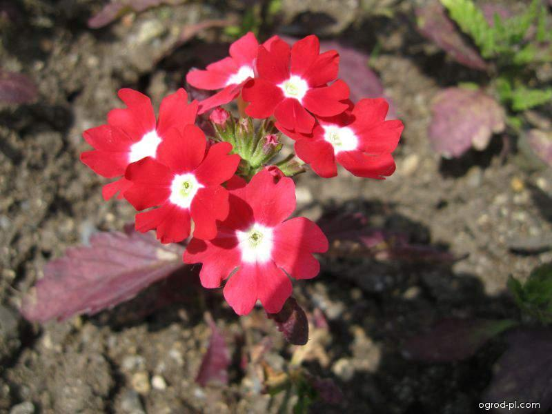 Werbena ogrodowa - Verbena x hybrida