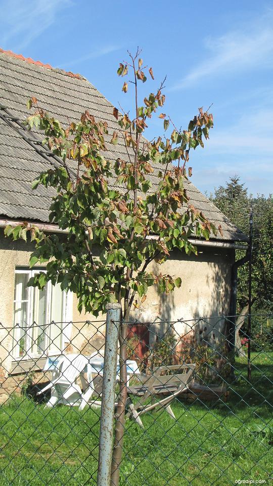 Lípa - napadený stromek (Tilia)