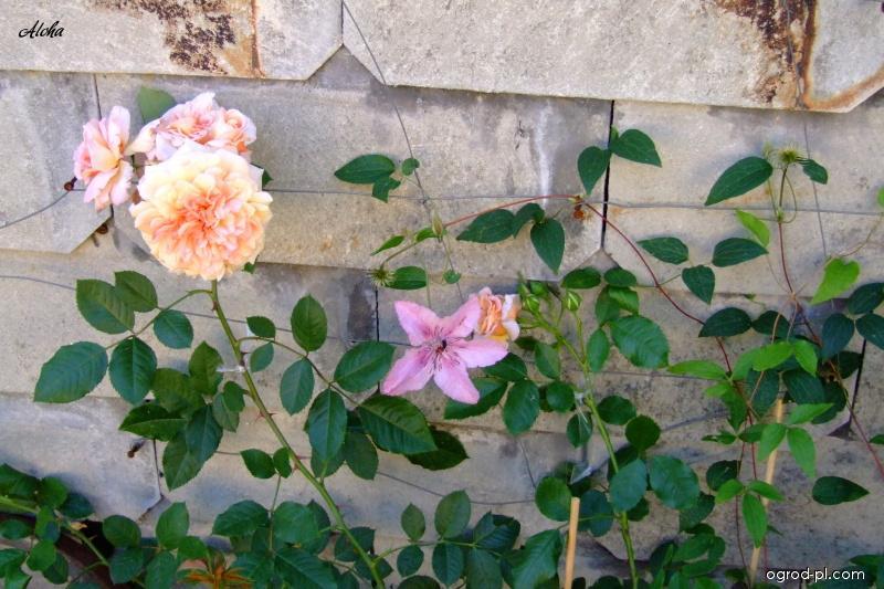 Róża - Rosa Aloha