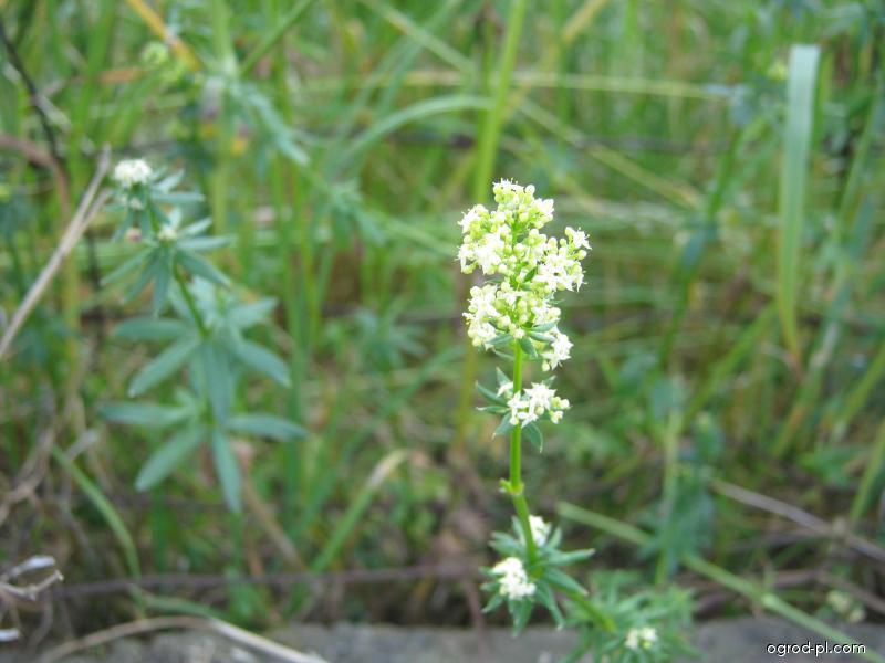 Svízel povázka - květ (Galium mollugo)