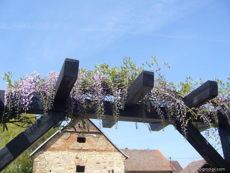 Pergola - kvetoucí vistárie na pergole