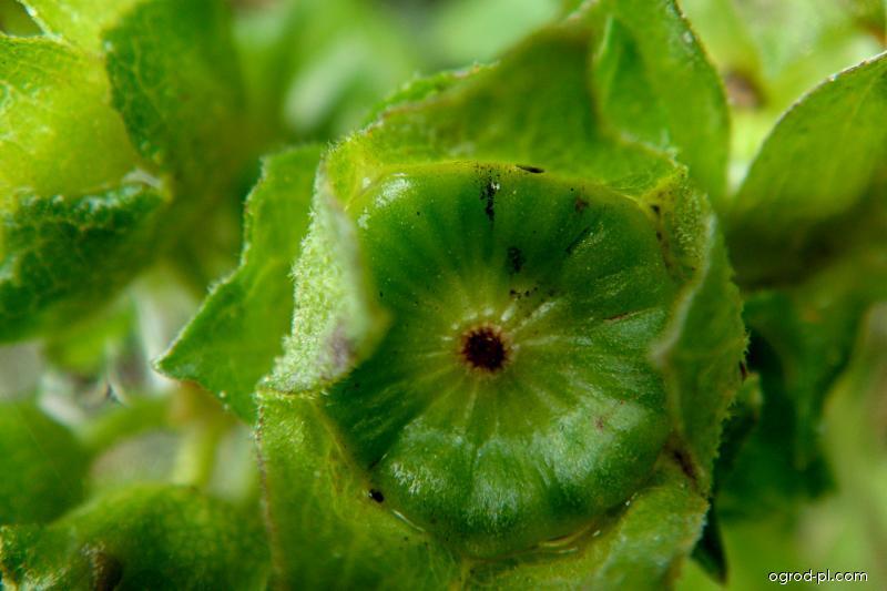 Slézovec tříměsíční (Lavatera trimestris)