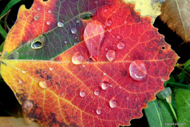 Topol osika - barevný list na podzim (Populus tremula)