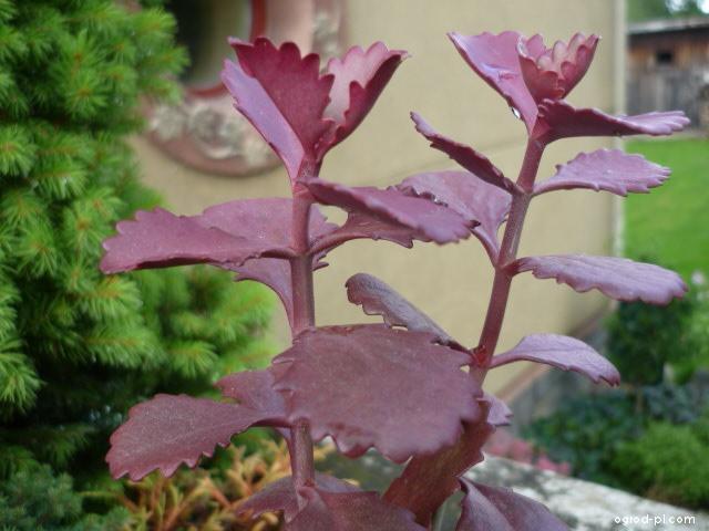 Kolopějka (Kalanchoe sexangularis)