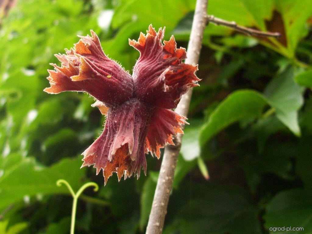 Leszczyna długookrywowa - Corylus maxima Purpurea
