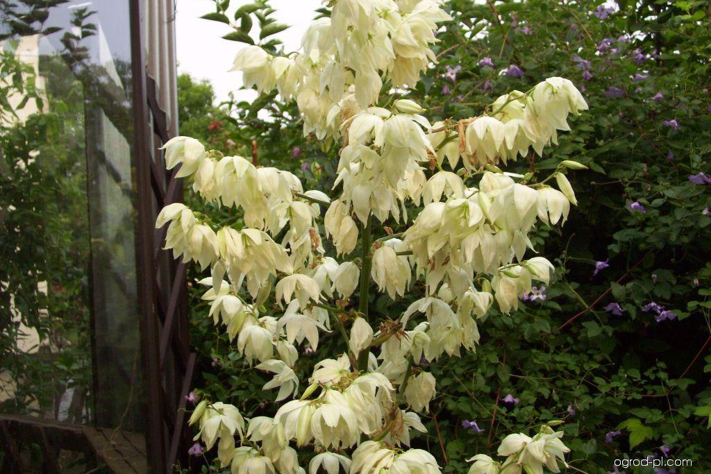 Juka obloukolistá (Yucca recurvifolia)