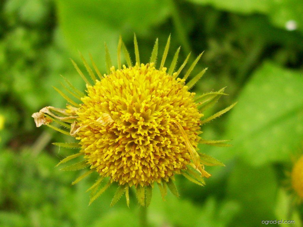 Kamzičník východní (Doronicum orientale)