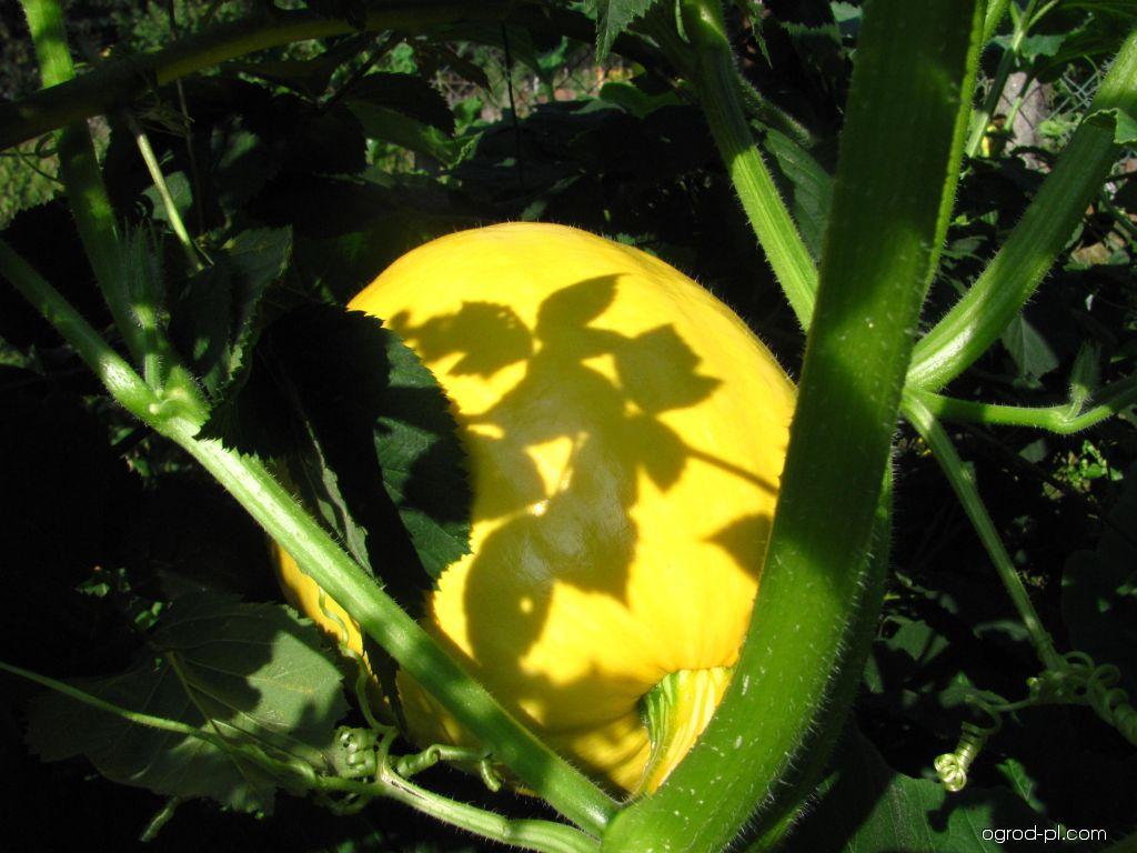 Dýně obecná - plod (Cucurbita pepo)