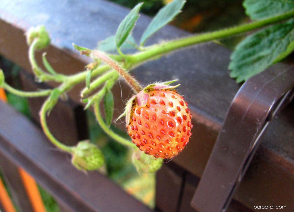 Jahodník obecný - plod (Fragaria vesca)