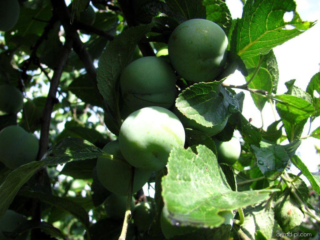 Renklóda zelená claudiana (Prunus domestica)