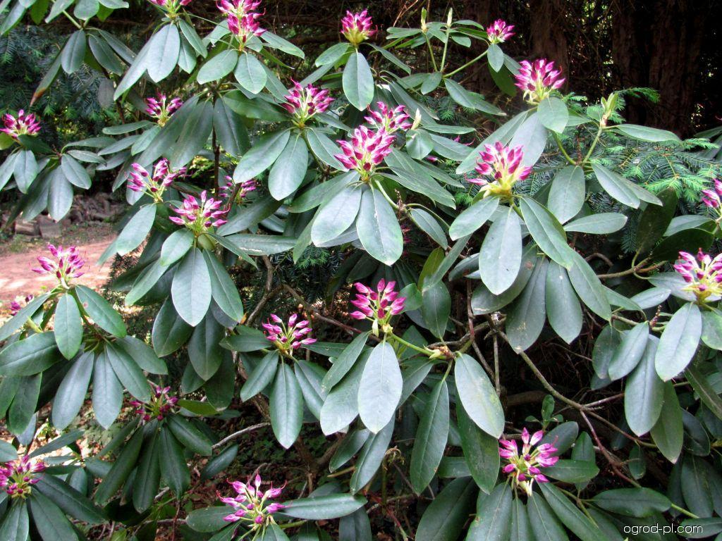 Park Buchlovice-rododendrony