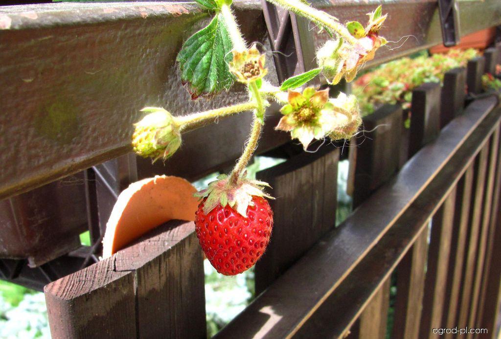 Jahodník obecný - plody (Fragaria vesca)