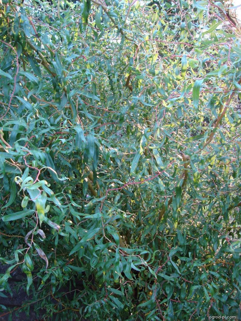 Vrba kroucená (Salix erythroflexuosa)