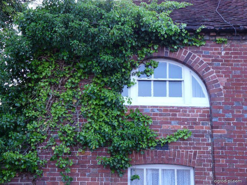 Havant, Hampshire, Anglie - popínavé rostliny na domě