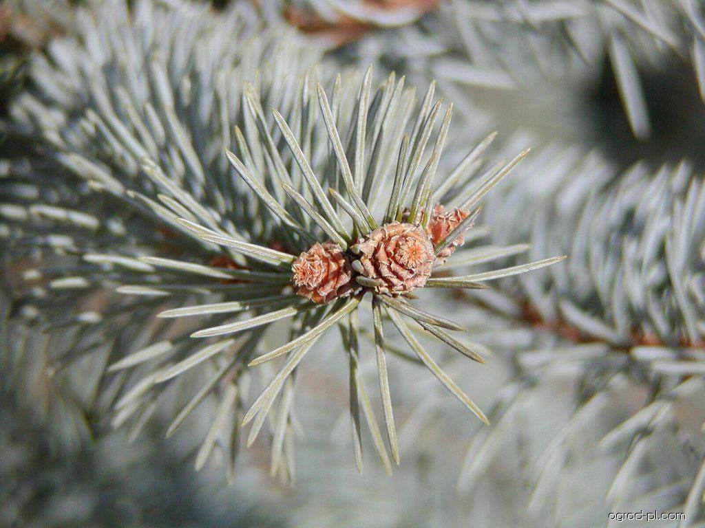 Świerk srebrzysty - Picea pungens