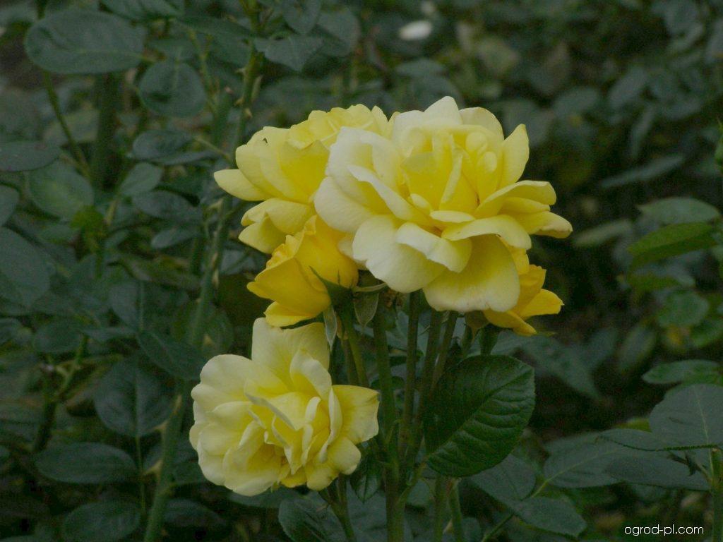 Róża - Rosa Arthur Bell
