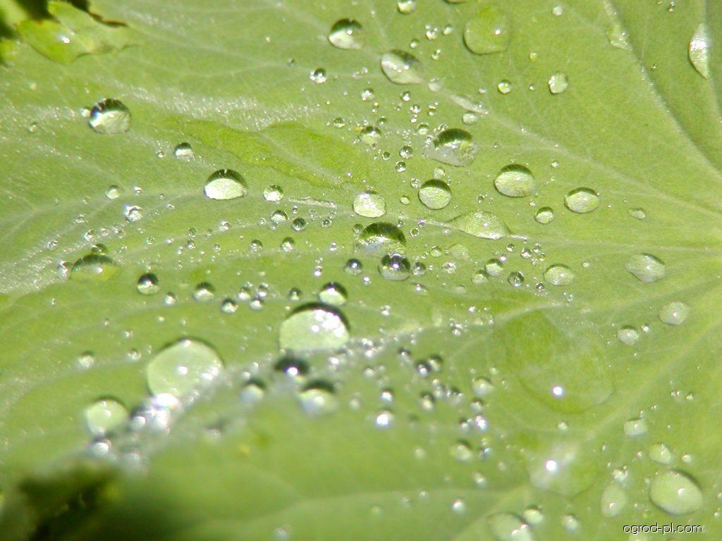 Przywrotnik ostroklapowy - Alchemilla mollis