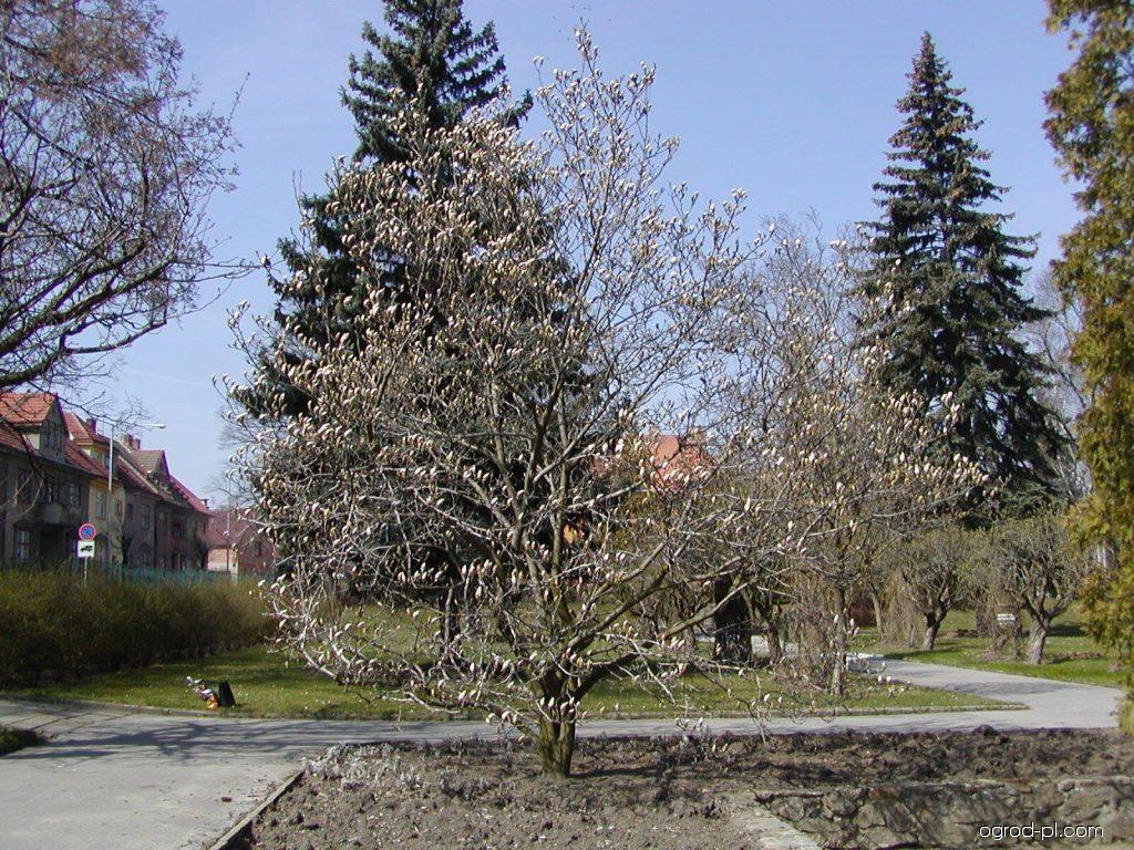 Magnolia pośrednia - Magnolia x soulangeana