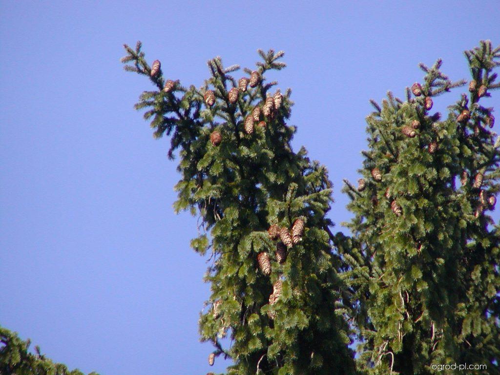 Daglezja zielona - Pseudotsuga menziesii