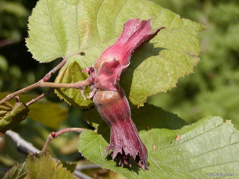 Leszczyna długookrywowa - Corylus maxima