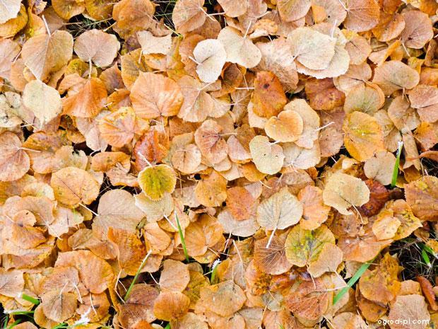 Lípa - spadané lisí na podzim (Tilia)
