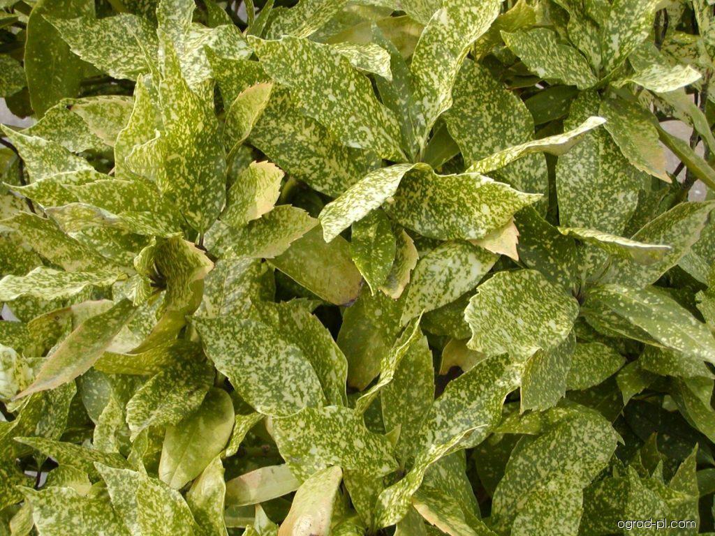 Aukuba japońska - Aucuba japonica Variegata