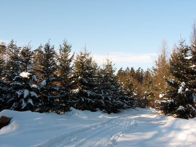 Jehličnany - les v zimě