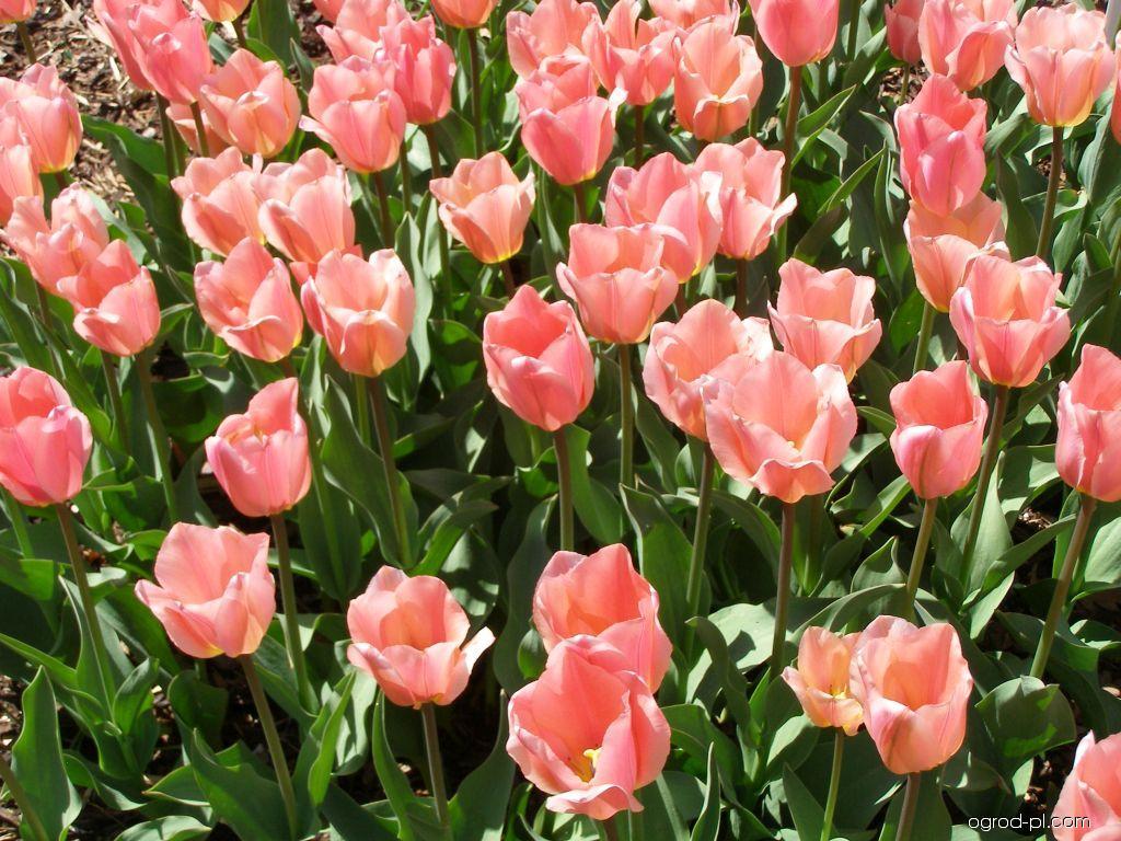 Tulipan Fostera - Tulipa fosteriana Albert Heijn