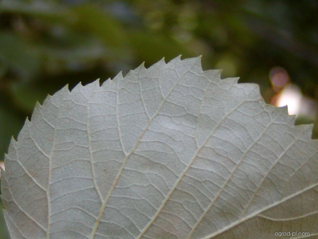 Lipa srebrzysta - Tilia tomentosa