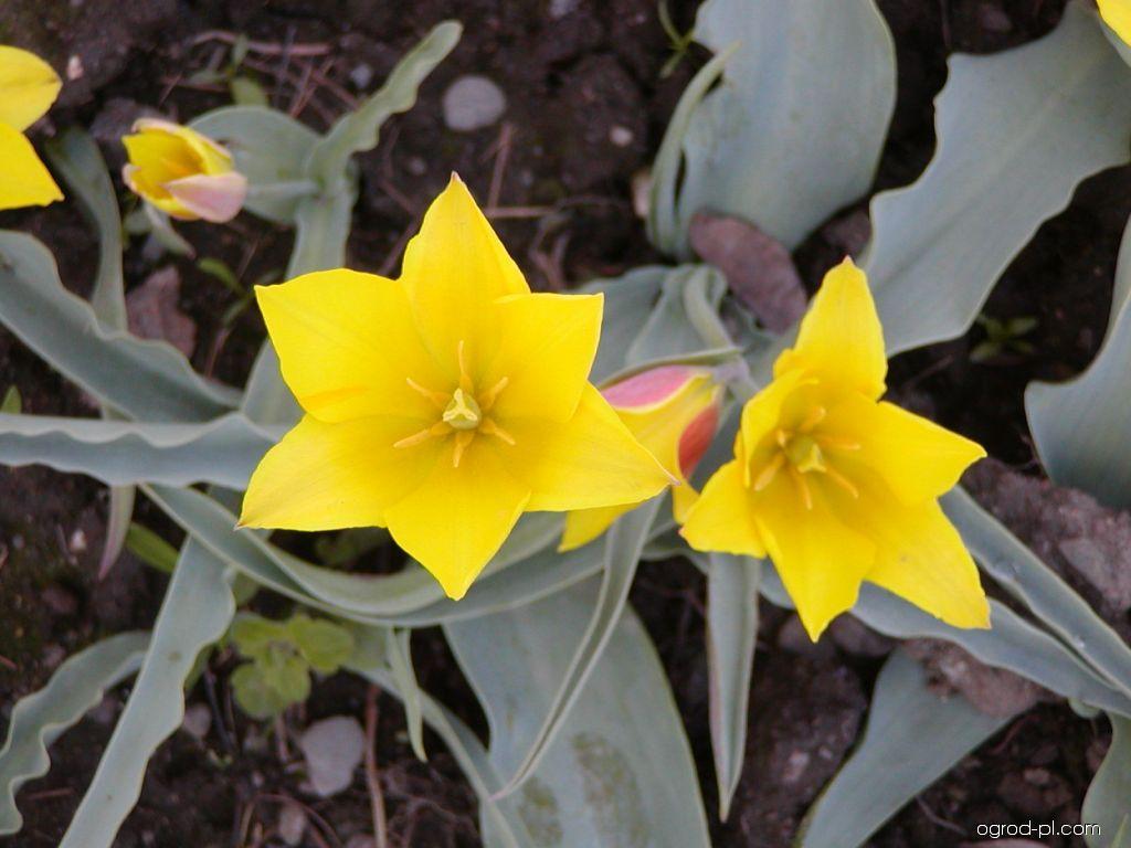 Tulipan - Tulipa kolpakowskiana