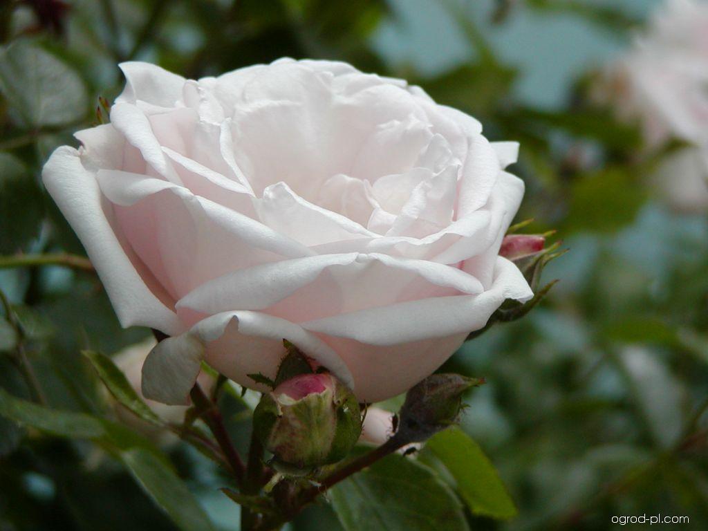 Róża - Rosa New Dawn