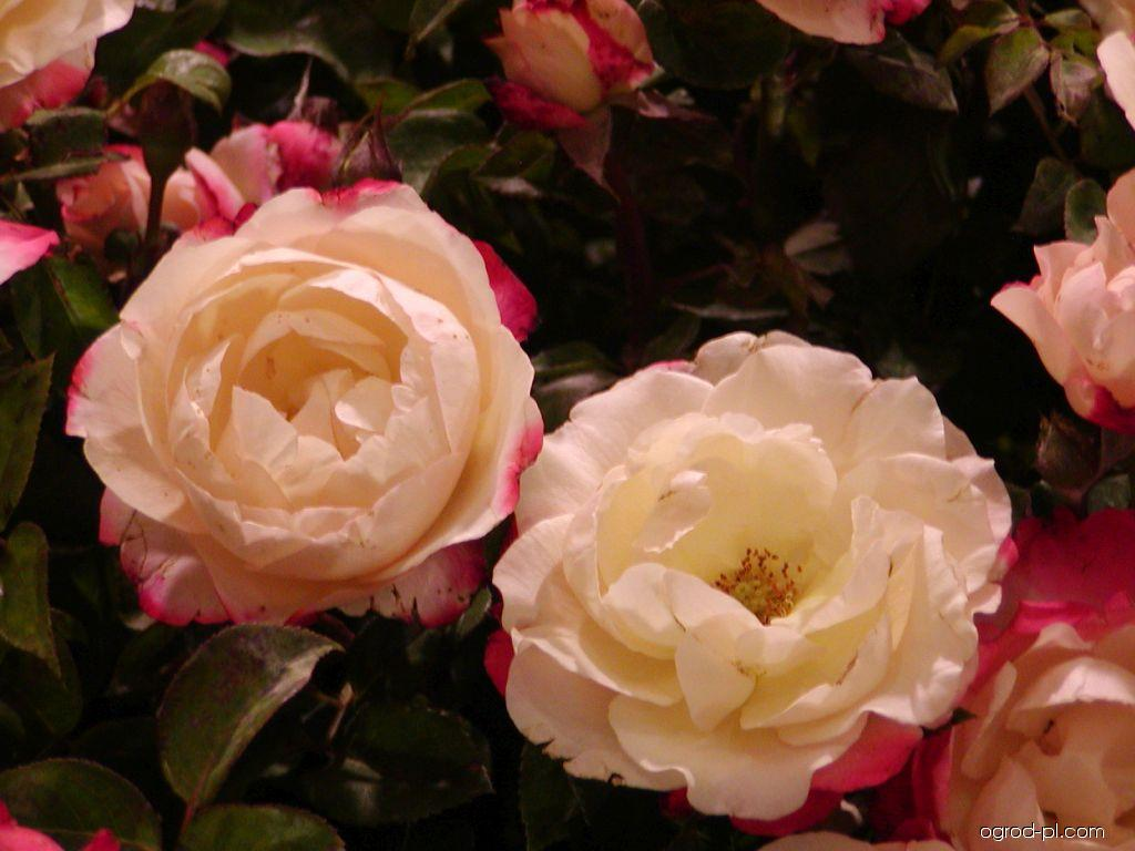 Róża - Rosa Nostalgie